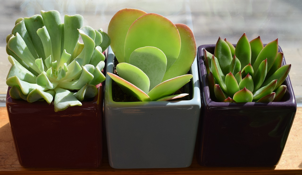 succulent trio plants